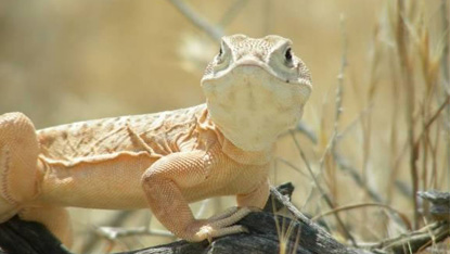 Photograph of blunt-nosed leopard lizard