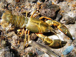 The Shasta crayfish