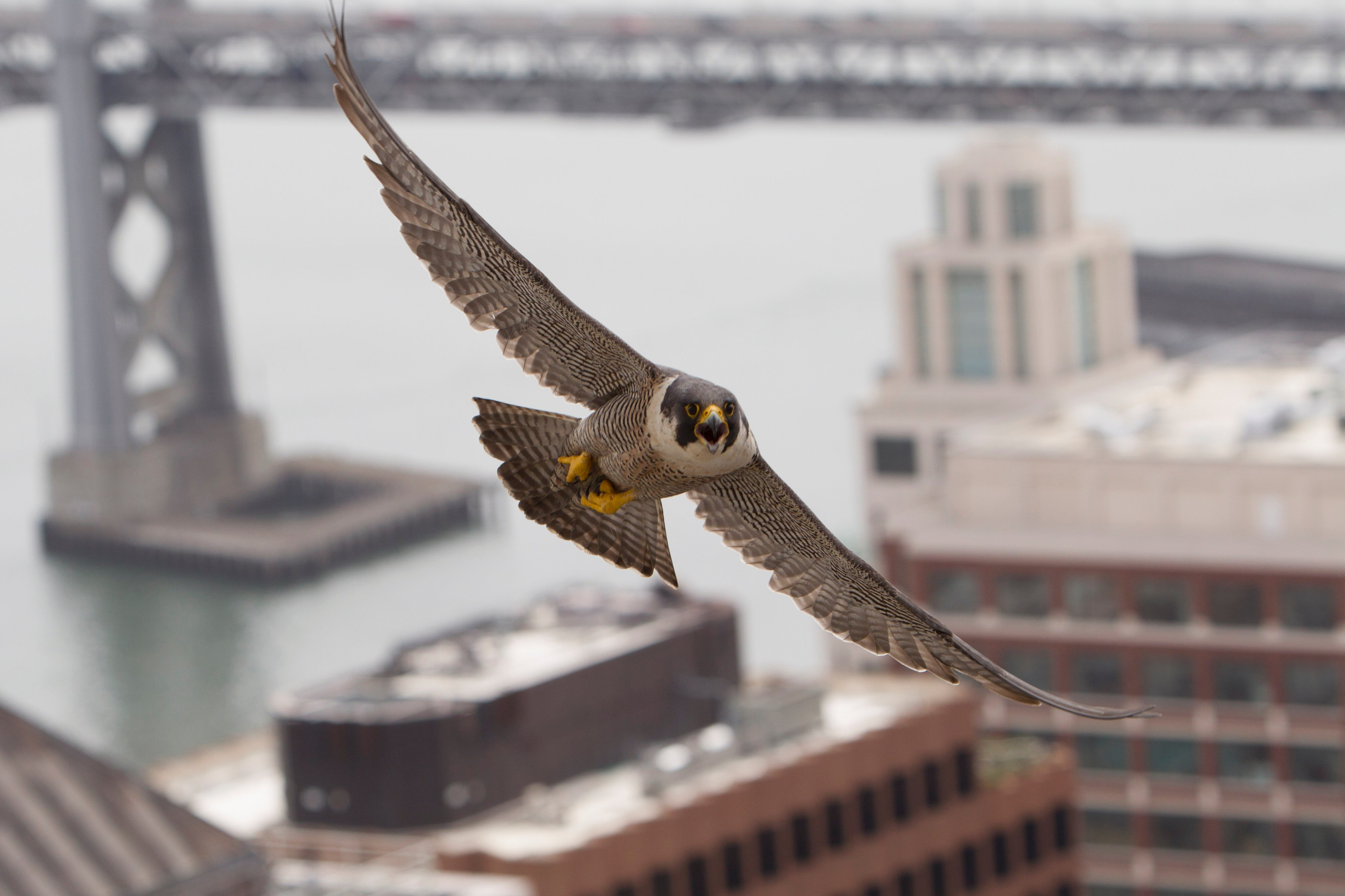 one of the falcons flying close to the PG&E building with a portion of the bay bridge in the background