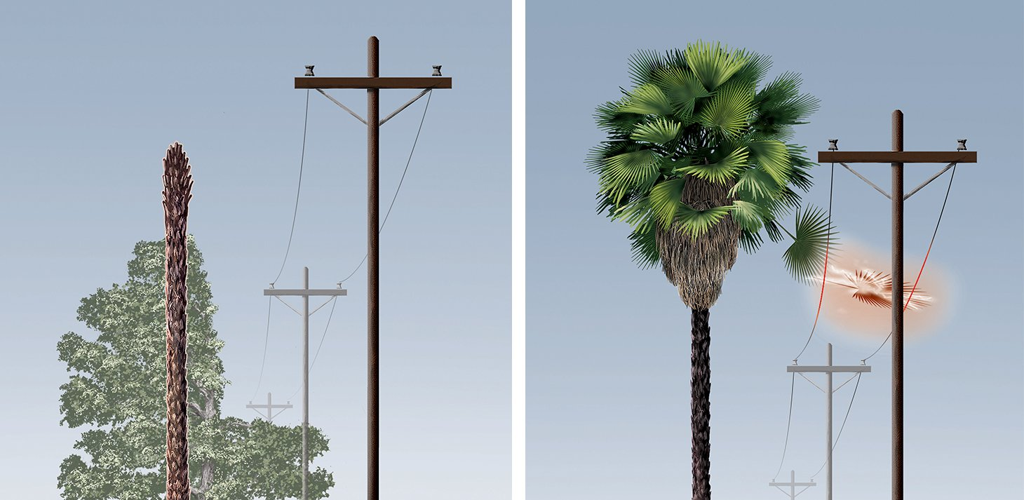 Be aware that palm trees grow straight up and can't be pruned away from power lines. We recommend planting palms at least 50 feet away from power lines.